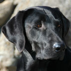 Blazin Cinder - Grouse Creeks's Labrador Retrievers